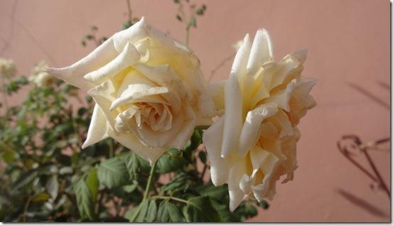 flor-flores-rosas-imagens100