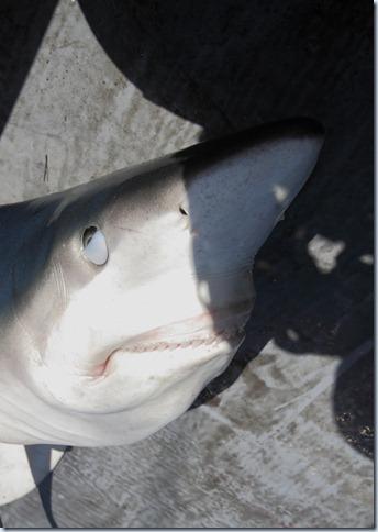 blue_shark3