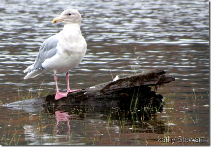 Glaucous-wing Gull