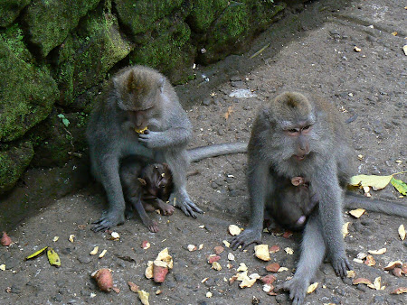 Bali pictures: Monkeys in Bali's Monkey forest