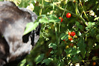 Sharkey, I'll pick some of these super sweet spoon tomatoes, which Martha loves to pop in her mouth!