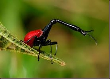 Amazing Pictures of Animals, photo, Nature, exotic, funny, incredibel, Zoo, Giraffe weevil, Insecta, Alex (14)