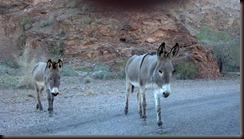 Parker AZ  - wild burros