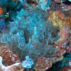 Nemo in einer wunderschönen Anemone, Komodo