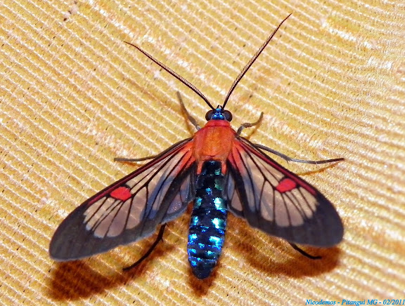 Arctiidae : Arctiinae : Euchromiini : Cosmosoma teuthras (WALKER, 1854). Pitangui (MG, Brésil), 2 février 2011. Photo : Nicodemos Roas