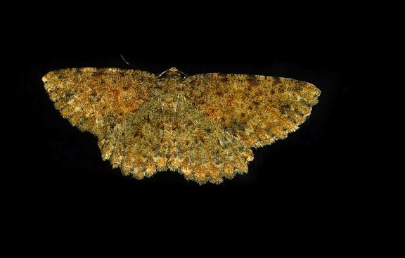 Geometridae : Sterrhinae : Idaea ferrilinea WARREN, 1900. Umina Beach (NSW, Australie), 31 octobre 2011. Photo : Barbara Kedzierski