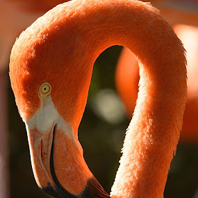 Pink Flamingo by Ed Hanson - Animals Birds ( bird, neck, zoo, pink, long, close-up )