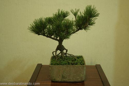 bonsais arvores em miniatura desbaratinando (98)