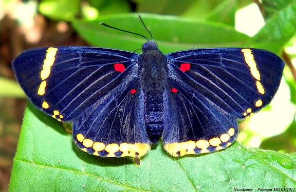 Riodinidae : Riodinini : Melanis electron auriferax (STICHEL, 1910) ou plutôt Melanis xenia xenia (HEWITSON, [1853]). Pitangui (MG, Brésil), 19 janvier 2011. Photo : Nicodemos Rosa
