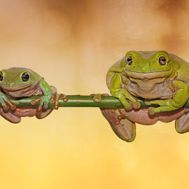 Skinny and Fat by Andri Priyadi - Animals Amphibians ( frog, indonesia, dumpy frog, animal )