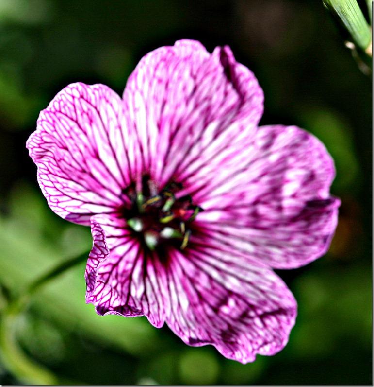Geranium cinerum ballerina