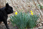 They're blossoming all over the place!  Daffodil is the common name, but did you know they're actually a type of Narcissus?  They're related to the Amaryllis.