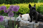 Sharkey, there are many other flower beds with allium growing.  Let's go see them.