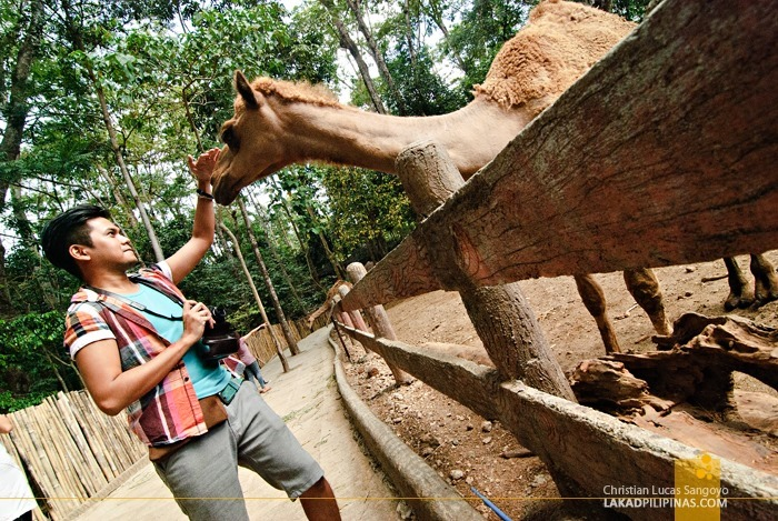 Friendly Camels at Subic's Zoobic Safari