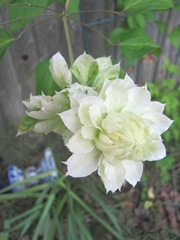 clematis white double 2013 odd one front but back can be seen
