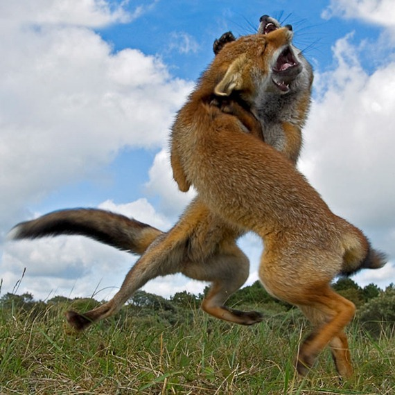 fighting-foxes_1977532i