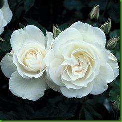Rosa ICEBERG1