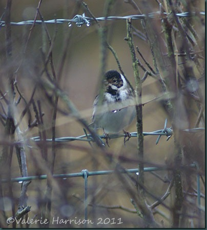 44-reed-bunting