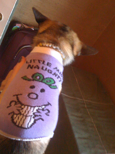 Here is my little 4-pound Minnow wearing a cute sock I got from the dollar store.