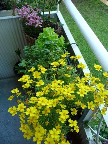 011 Kryddtagetes, Tagetes tenuifolia, Daniel Grankvist