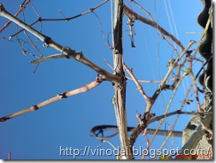 Виноград плачет 1