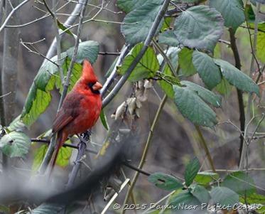 Cardinal in Bush