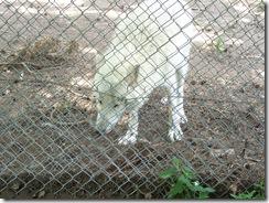 2012.06.02-025 loup blanc