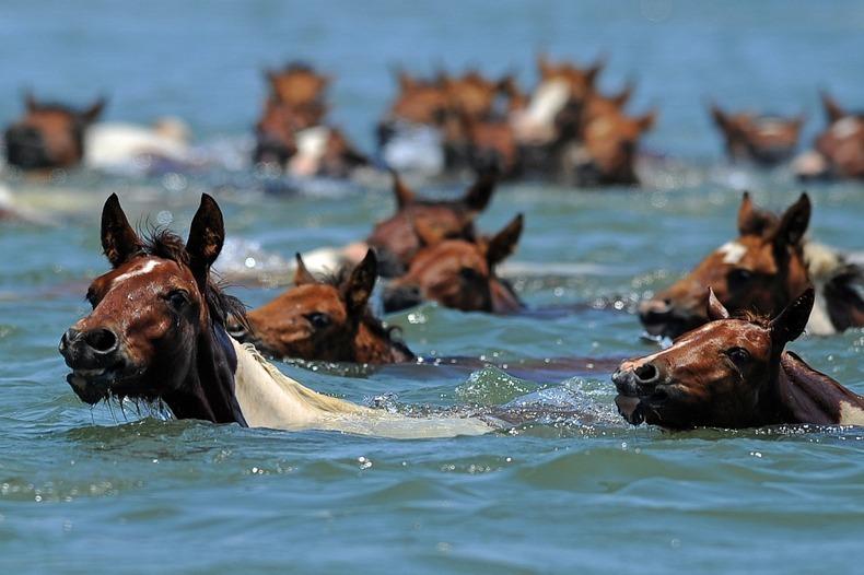 chincoteague-pony-swim-5