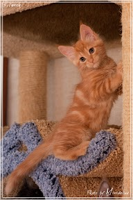 Фото история котят мейн кун в возрасте 7,5 недель 7