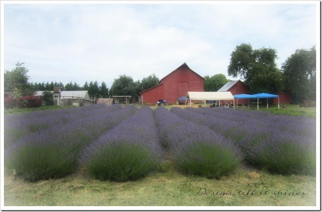 lavenderfarm1