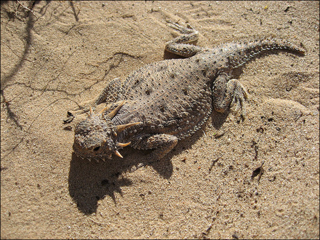 Flat-tailed horned lizard. The Tenaska Imperial Solar Energy Center West is under construction in the heart of flat-tailed horned lizard habitat. Photo: Johnida Dockens / Flickr
