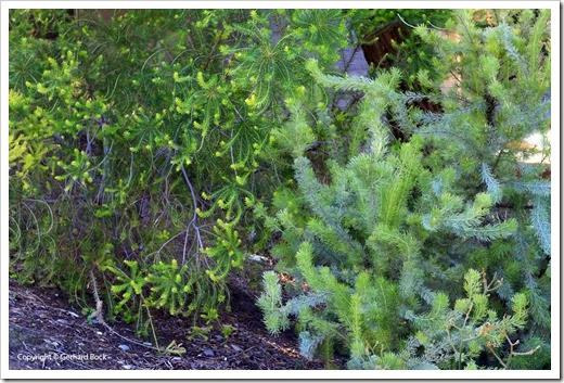 131124_UCD_Arboretum_AustralianCollection_93