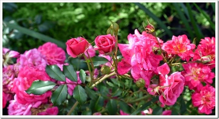 750 roses014
