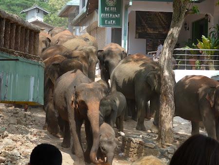 Imagini Sri Lanka: elefantii vin la apa