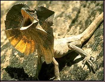 Amazing Animal Pictures Frill Necked Lizard (1)