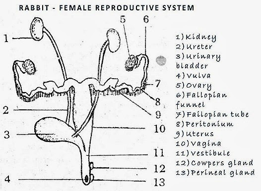 rabbit-reproductive-system-female
