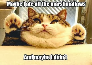 Marshmallow over eating cat