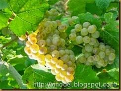 Сорт винограда Алиготе