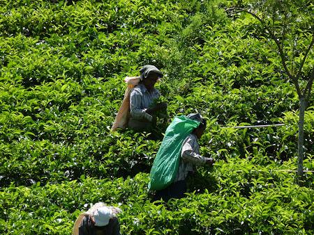 Culegatoare de ceai in Sri Lanka