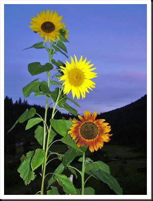 sunflower multi (2)