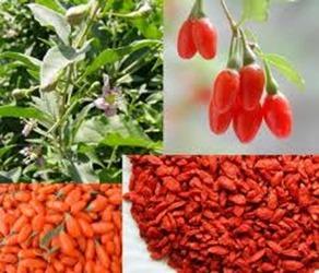Goji berry: fruta da vez