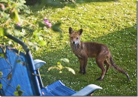 Skinny Fox2