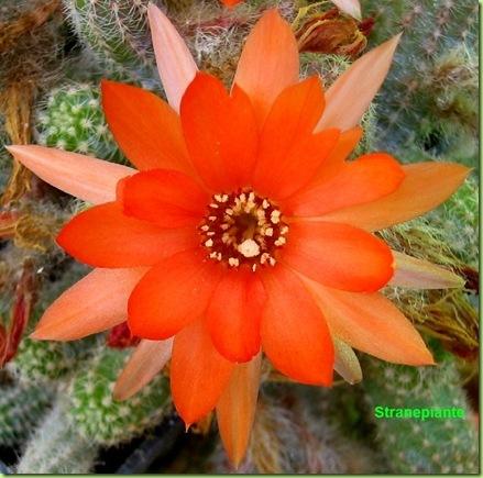 Echinopsis chamaecereus fiore