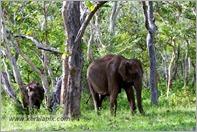 _P6A1691_wild_elephants_mudumalai_bandipur_sanctuary
