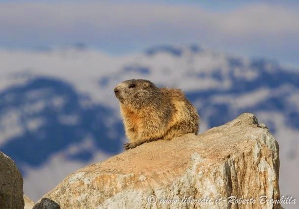 22_Marmotta (4)
