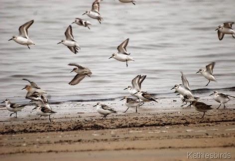 10. shorebirds plum island
