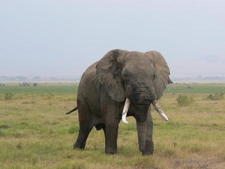 Safari Kenya: Elefant la Amboseli