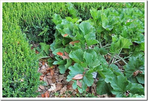 Crambe-cordifolia