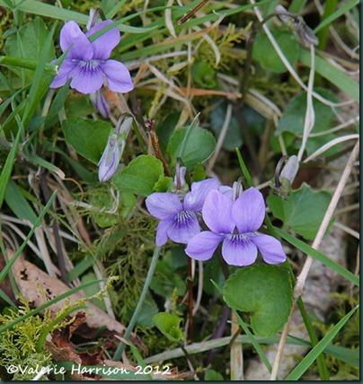 23-dog-violets