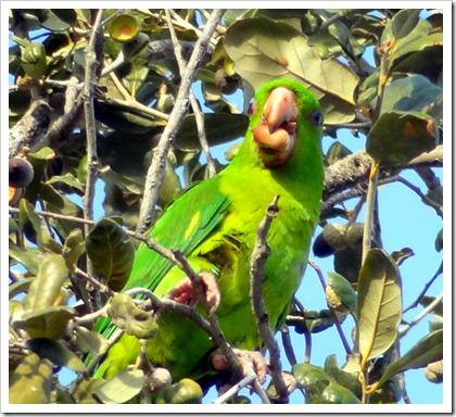 green parott